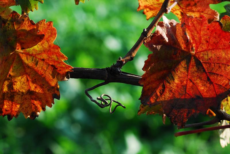 Rote Blätter im Weingarten Goldenits Richard
