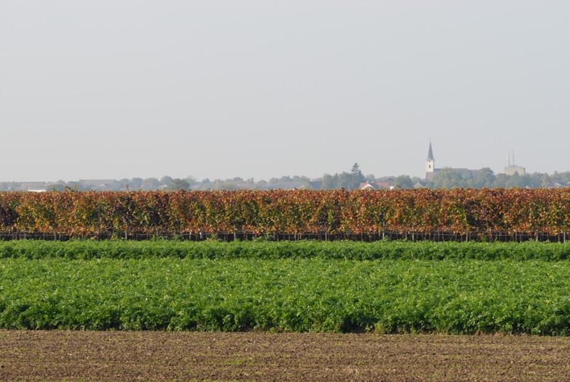 Weingarten mit Blick auf Tadten