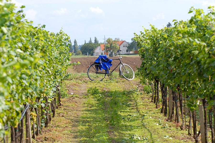 Fahrrad im Weingarten Goldenits Richard