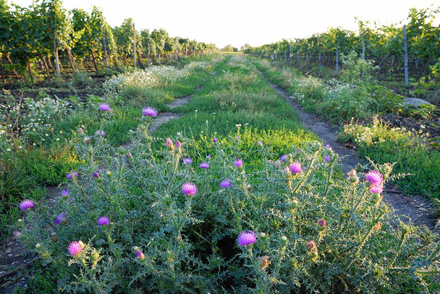 Weg durch die Weingärten Goldenits Richard
