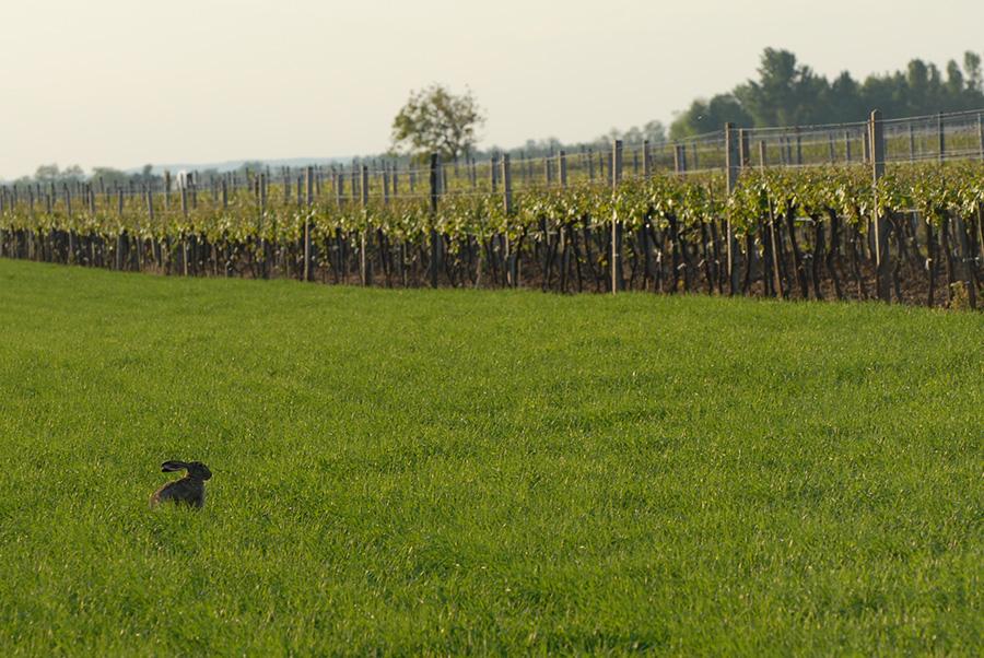 Hase im Weingarten Richard Goldenits
